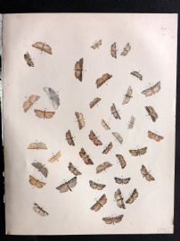 Humphreys & Westwood British Moths 1845 Hand Col Print 115
